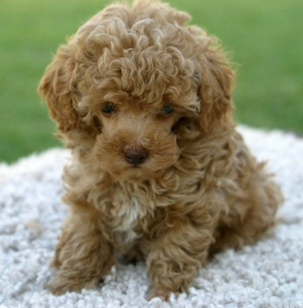 43 Best Teacup Poodle Images On Pinterest Poodles Toy