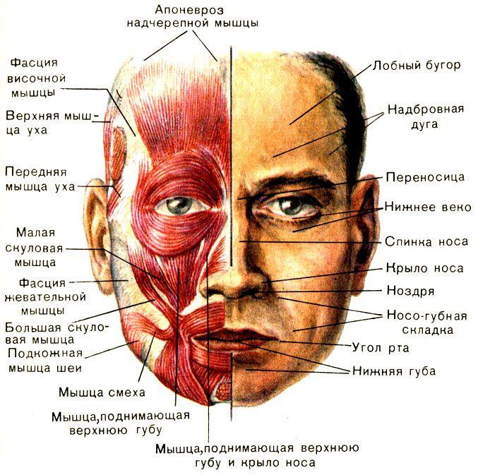 Мимические мышцы и покровы лица [1979 Курепина М М Воккен Г Г - Анатомия человека Атлас]