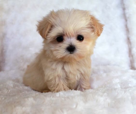 She is a Teacup Maltipoo, ........so precious!!: