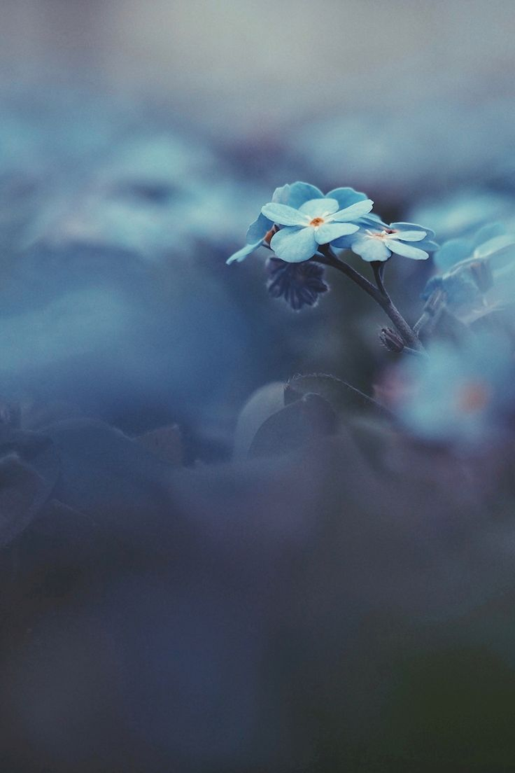 Sandra Linnell - don't forget me. Close up of forget-me-nots. Available as poster and laminated picture at Printler, the marketplace for photo art.