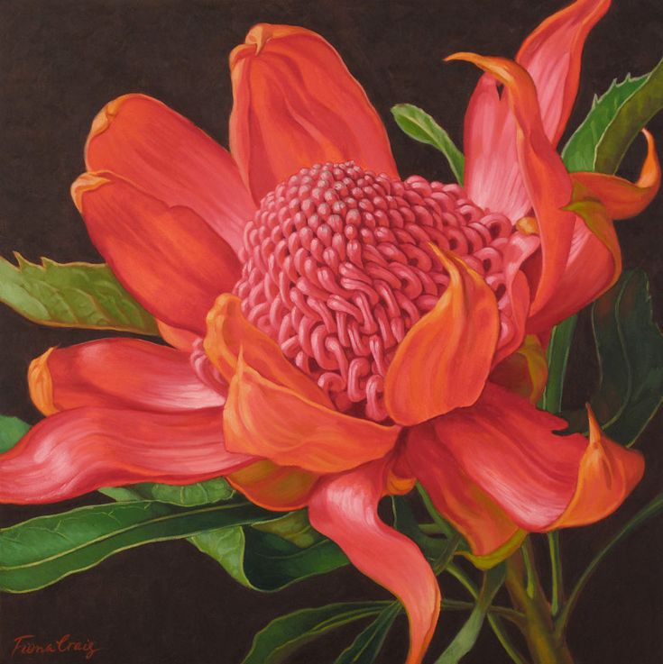 WARATAH  Fiona Craig was born in Sydney Australia.  Fiona grew up in the Blue Mountains, west of Sydney, studying arts and crafts at home and at local art schools .  In 1988 she visited America and began to exhibit successfully. In 1996 she produced a series of Indonesian floral studies and instructed the botanical Artists in drawing by invitation of the Director of the Bogor Botanic Gardens in Indonesia, one of the foremost centres of botanic study in the world.