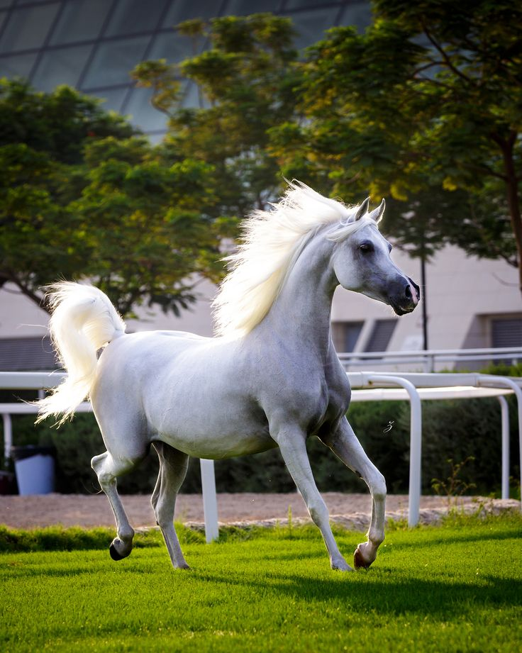 https://flic.kr/p/AXa2is | Arabian mare at sunrise, Qatar | White Silkk (Dakar el Jamaal x KH First Prize) 2003 Grey Mare  Dam of Hariry Al Shaqab & Hadidy Al Shaqab.  Bred by Doug Dahmen (USA)  Owned by Al Shaqab www.alshaqab.com www.facebook.com/AlShaqabQF  | Featured in Flickr Explore nr. 6 |