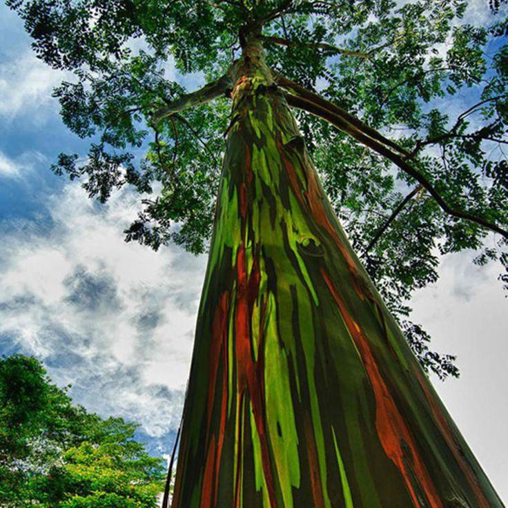 Завораживающие Филиппины.. А вы знали, что именно здесь растет «Радужный эвкалипт» (лат. Eucalyptus deglupta) родом из тропических лесов Минданао, которые находятся на самом южном острове в филиппинском архипелаге! Кора эвкалипта гладкая, но состоит из множества тончайших слоев, которые имеют разные цвета и размеры и меняются на протяжении всей жизни этого причудливого дерева! Исследуй Филиппины вместе с Genius English school! http://www.studyenglishgenius.com/ru