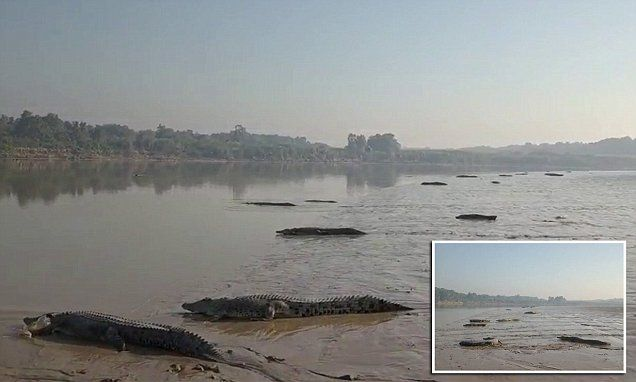 f3571f36229 60 DEADLY crocodiles gather on banks of Australian river to sunbake ...