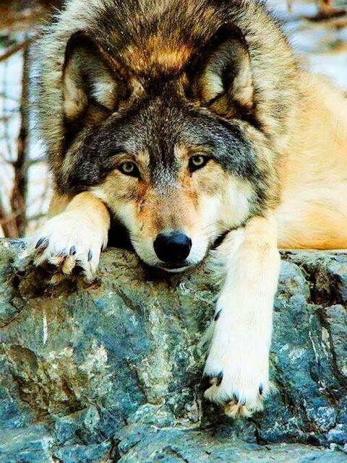 Big Beautiful wolf.