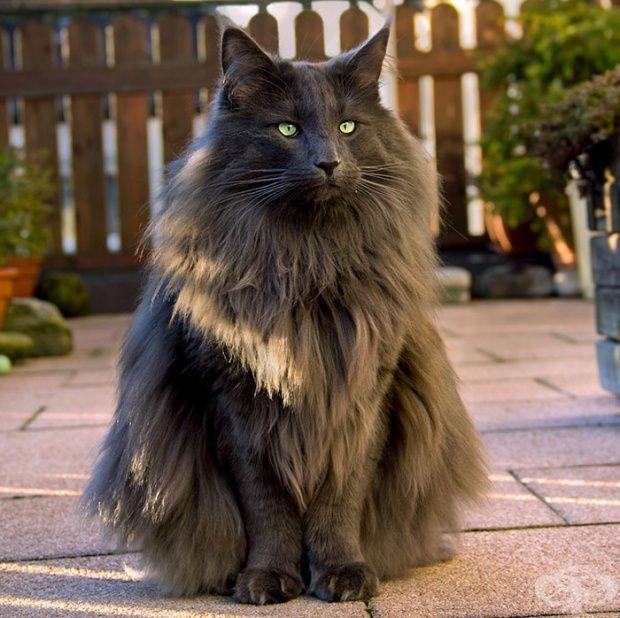 Luan - Nórska lesná mačka