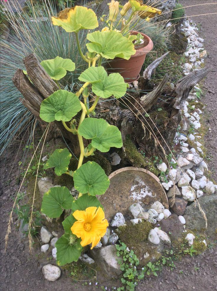 Hier is deze pompoen plant nog mooi, ik had gehoopt dat deze plant nog wel even zo door zou gaan. Helaas zie ik meer veranderingen door de grote temperatuur verschillen, sommige mooi. Andere weer lelijk, maar ik hoop op een eigen happy Halloween lantaarn te maken. Uit eigen tuin :)