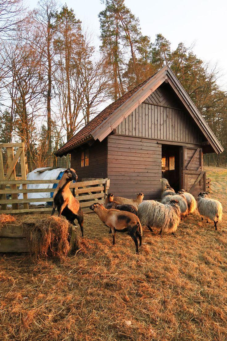 Owce wrzosówki i kameruńskie