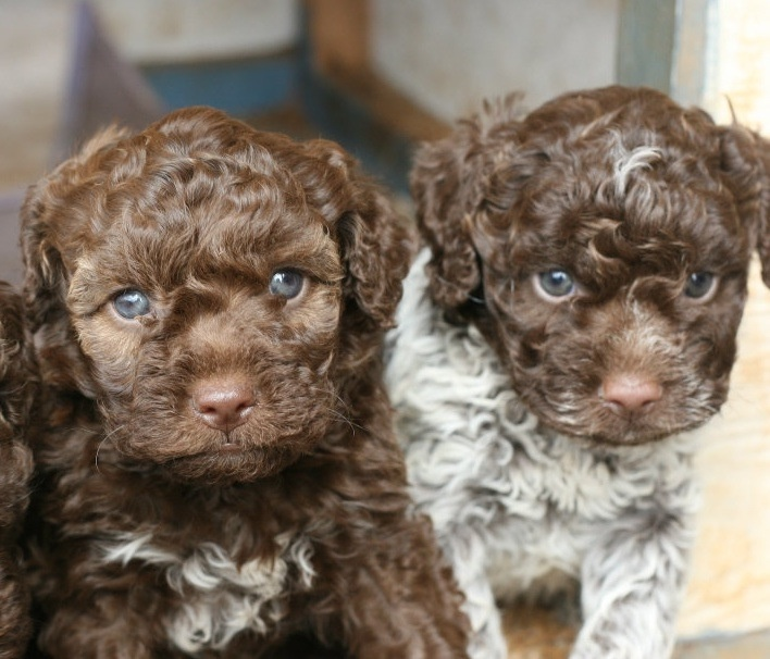 Lagotto Truffle Dogs: 50 Best LAGOTTO Romagnolo Love Images On Pinterest