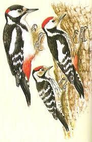 Výsledok vyhľadávania obrázkov pre dopyt naše vtáky obrázky