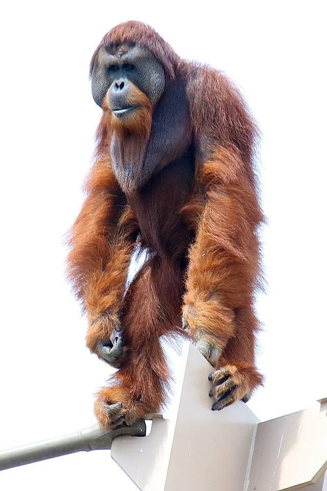 Pin By Edwin Sagurton On Monkeys And Apes Orangutan Indianapolis Zoo Zoo