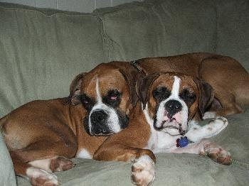 Success Stories - Lone Star Boxer Rescue
