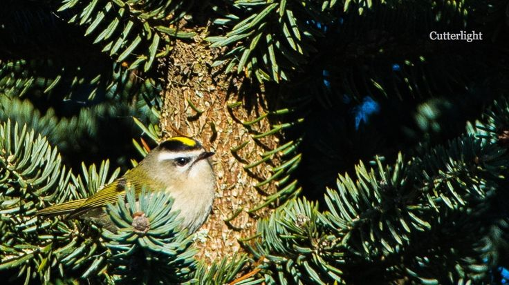 Next to Pacific Wrens, Golden-Crowned Kinglets are the smallest birds likely to be encountered onthe Alaska Peninsula. Tiny, furtive, and constantly in motion, patience and persistence paid off wi…