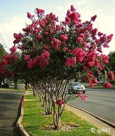 Extemosa (Lagerstroemia indica) - pequeno porte, folhagem caducifólia, folhas pequenas e elípticas. Sua copa tem formato arredondado, com diâmetro de 3 m. Floresce entre outubro e maço.