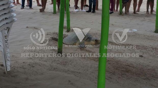 Llega a desovar tortuga en Palapas de Tuxpan - http://www.esnoticiaveracruz.com/llega-a-desovar-tortuga-en-palapas-de-tuxpan/