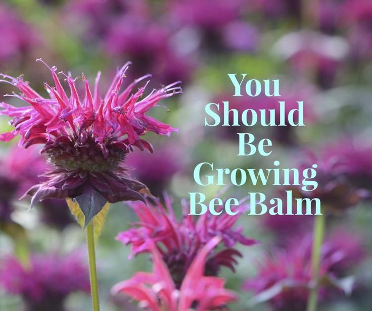 Bee balm, which is also known as Oswego tea, horsemint and bergamot, is a versatile perennial plant that can add color and beauty to any garden. Native to the eastern portion of North America, bee …