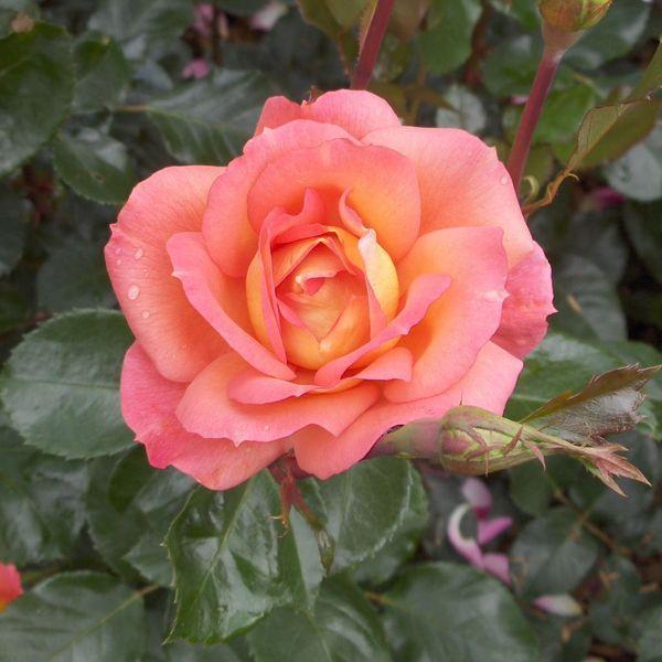 ~'Inspiration' Hybrid Tea Rose