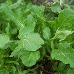 Arugula A salad herb that is native to the Mediterranean region. It has been cultivated since Roman times and is rich in vitamin C and iron. The leaves add a peppery taste to salads or pesto; and eaten raw or cooked in many other dishes.