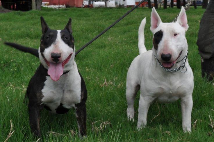 Bull Terrier   Animales y Mascotas > Perros > Perros de Raza > Bull Terrier