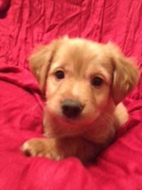 Arthur Breed: Collie / Corgi Mix Age: 11 weeks Gender: Male (Intact)  These adorable babies are Collie/Corgi/Terrier mixes. Soo cute, aren't...
