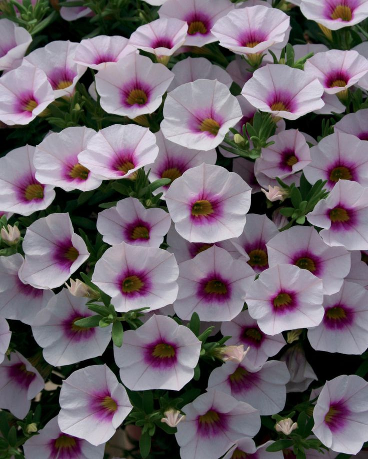 93 best images about calibrachoa on pinterest - Calibrachoa superbells ...