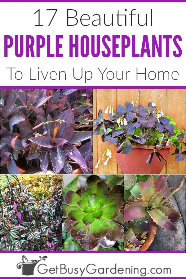 17 Beautiful Purple Houseplants | Purple plants, Purple ... on house plants and foliage, house plant with striped leaves, rainbow colorful leaves, greenhouse plants with large leaves, house plants that love water, house plants with flowers, house plants for northern exposure, house plants with butterflies, house plant container garden, house plant identification, house plants with seed pods, house plant with orange leaves, house plants with long stems, house plants with fruit, house plants with berries, tropical plants with red leaves, purple and green striped plant with leaves, tropical plant large leaves, house plant with spiky leaves, house plants that are poisonous to cats,