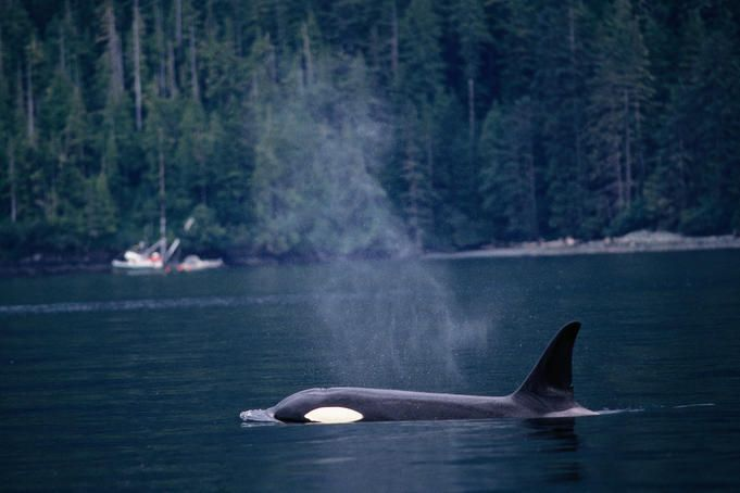 A guide to whale-watching in Canada - Lonely Planet