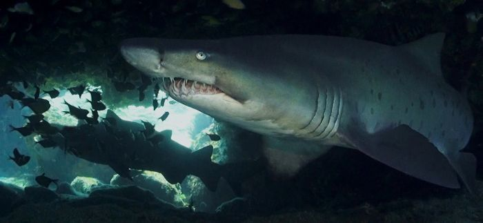 Diving with ragged-tooth sharks off the south-east coast of Africa