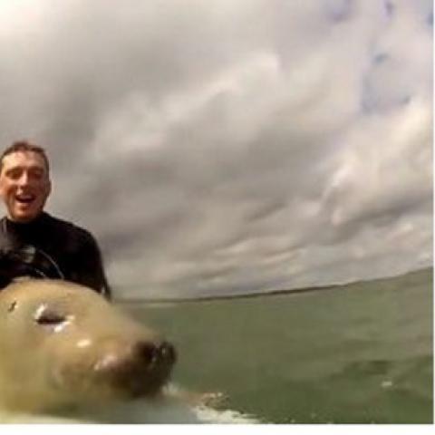"""Video: una cría de foca interrumpe a dos surfistas y empieza a """"navegar"""" las olas"""