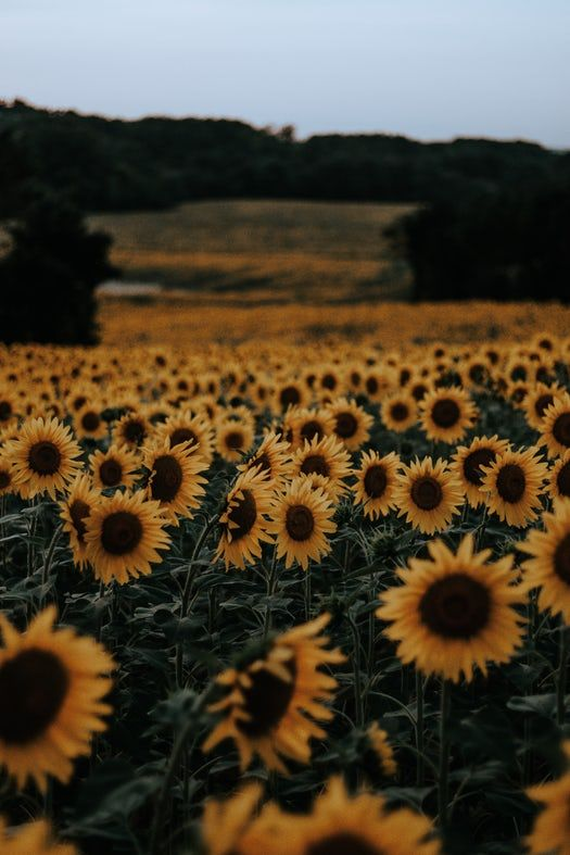 Sunflower Field Bokeh And Blur Hd Photo By Perchek Industrie Perchekindustrie On Un Sunflower Iphone Wallpaper Sunflower Wallpaper Flower Iphone Wallpaper Beautiful sunflower field hd wallpaper