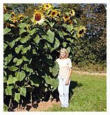 How to grow Giant Sunflower.  I'm trying to decide if I should shoot for size or quantity this year.