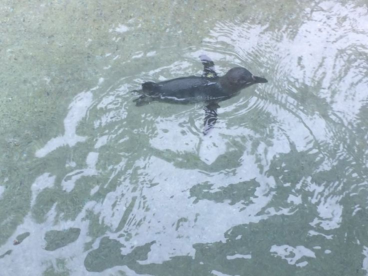 The Louisville Zoo is celebrating new residents. The little penguin species are part of the new Penguin Cove exhibit.