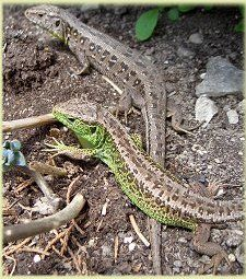 Male and female sand lizards
