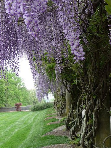 Biltmore Estate - I'd never heard of this place until I saw it pinned on a fellow pinner's board. What a gorgeous place and now I have to read up on it as my curiosity's been piqued. The wisteria must be decades or more old too!