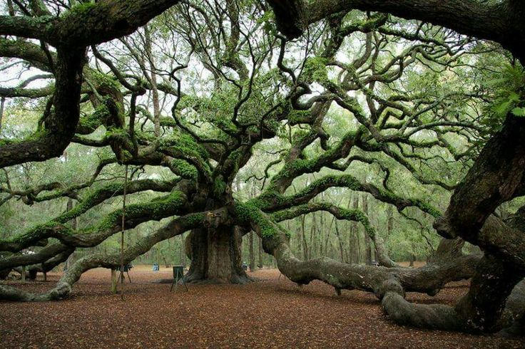 Beautiful 1,500 Year Old Angel Oak Tree in South Carolina.