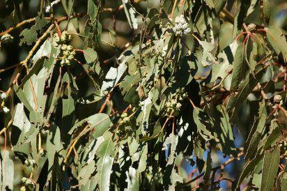 Propiedades del Eucalipto Sus hojas, muy olorosas, son ricas en un aceite esencial, cuyo componente principal es el eucaliptol. Éste es mucolítico, es decir, que fluidifica las secreciones pulmonares favoreciendo su expulsión. Es también antitusivo e inhibe la irritación bronquial en las bronquitis agudas y crónicas.