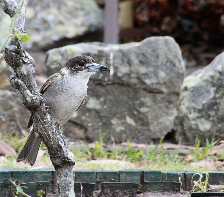 Grey Butcherbird, better known around here as Larry.