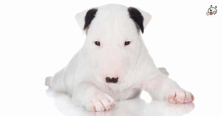 Did you know theese details about our  #Bull_Terrier puppies? Click the Link or the image now and learn everything about them ;) http://puppies4all.com/bull-terrier-puppies-for-sale/ #dog #doglover #puppy #p4a#puppies #dogs #adorable #lovely #funny #loyal #breeds;