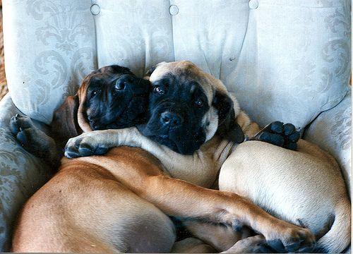 Hugging Mastiff Puppies