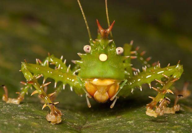 SPINY DEVIL KATYDID Family: Tettigoniidae Habitat: Central and South American Rainforest