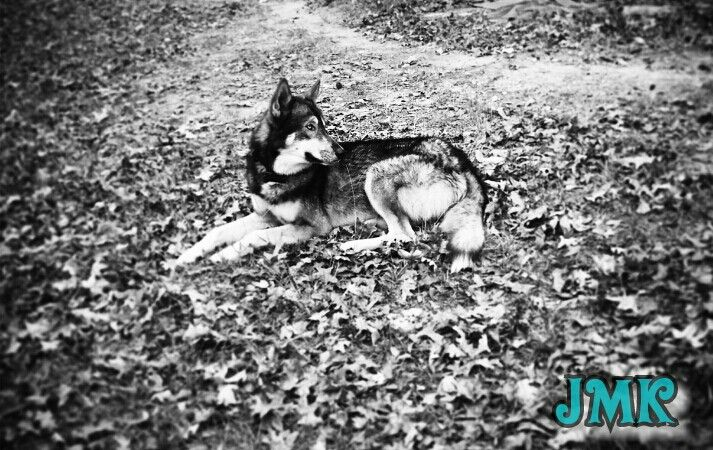 This is my 1 year old boy buck he's a wolf hybrid which means half Alaskan timber wolf and half Belgium malamute I love him to the moon an back this is my fav pic I took had to share is beauty -JMK