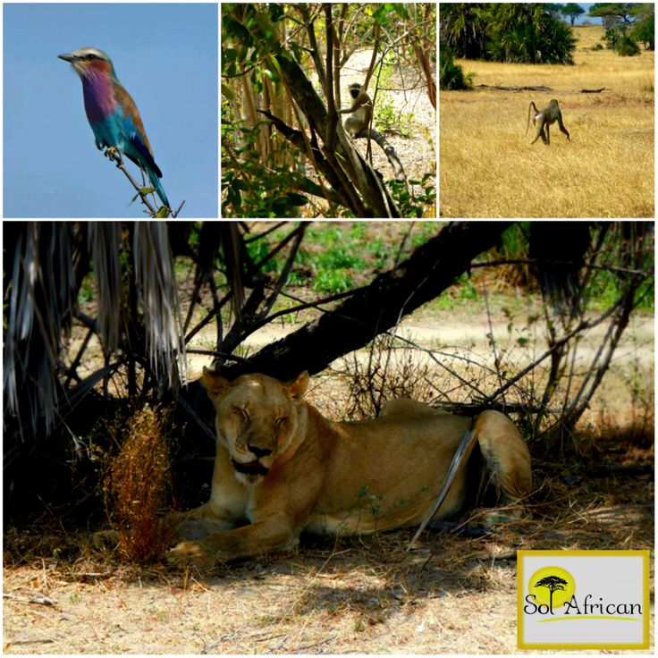 The beauties of South Africa! #Africa #SouthAfrica #travel #holiday #holidaydestination #tour #tourism #tourismagency #adventure #fun #exotic #safari #wild #wilderness #explore #discover #nature #naturalbeauty #sun #sunshine #bluesky #bird #exoticbird #colours #gibbon #monkey #lion #lioness