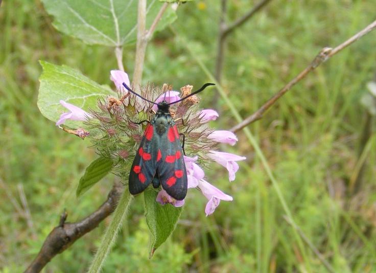 Six-Spot Burnet Butterfly (Zygaena Filipendulae) - Public Domain Photos, Free Images for Commercial Use