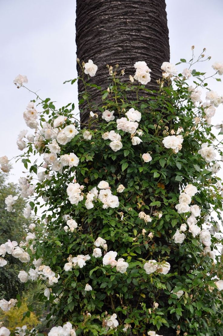 Ho/how to take care of climbing roses for winter - Climbing White Roses Use This Palm Tree As Support Brooke Giannetti
