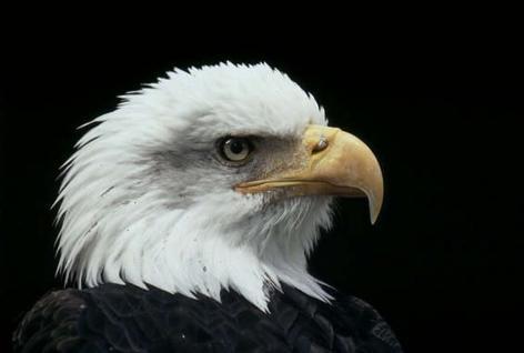 Amerikaanse zeearend < Roofvogels < Vogels < Dierenbieb - WNF.nl