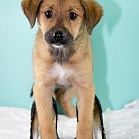 Glastonbury, Connecticut - German Shepherd Dog. Meet Vera Wang, a for adoption. https://www.adoptapet.com/pet/20115217-glastonbury-connecticut-german-shepherd-dog-mix
