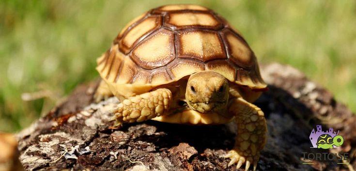 Buy baby sulcata tortoise for sale online african spurred tortoises for sale, sulcata tortoises for sale at the best sulcata tortoise price anywhere. Our baby spur thighed tortoises for sale are from the best african sulcata tortoise breeder for sale online anywhere. Sulcata for sale near me, where to buy sulcata tortoise.