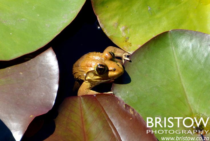 Frog, photographed by Bristow Photography. www.bristow.co.za