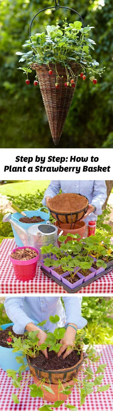 Plant strawberries in a hanging basket for a quick crop with luscious rewards