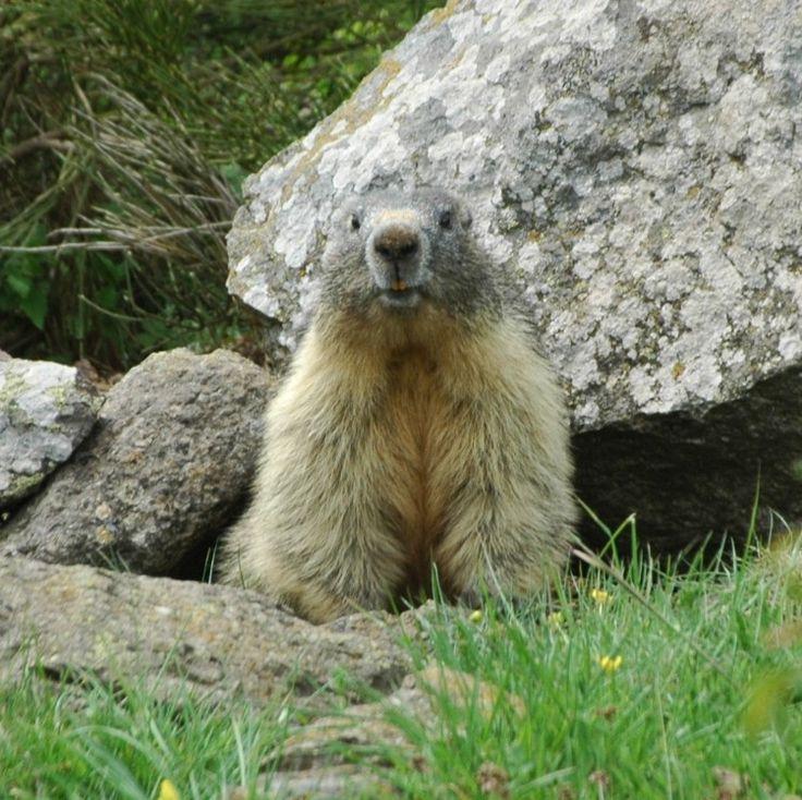 50 best images about Les marmottes..... on Pinterest